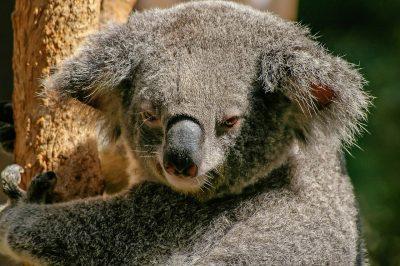 Avstralija - iz Zagreba - kombinacija z AA - 176 EUR - prikazna slika koale